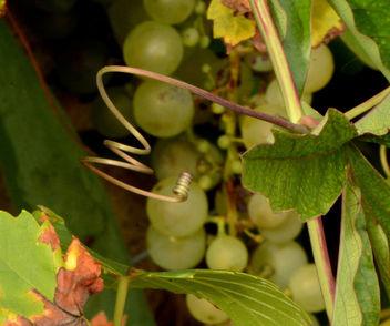 Premiers raisins ! - image gratuit #293435