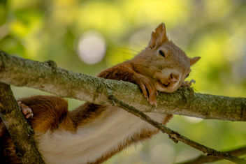 La sieste/sleepy squirrel - image #293545 gratis
