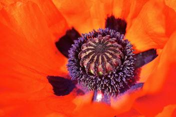 September Poppy - image gratuit(e) #293635