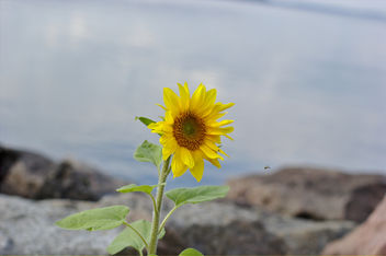 sunflower - image #293765 gratis