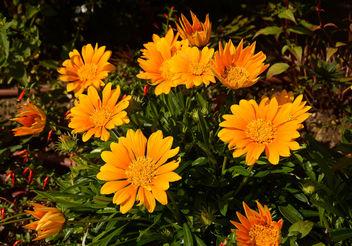 Dans le petit jardin public : jolis bouquets de gazanias en pleine terre ... - image #293945 gratis