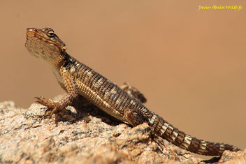 Karoo gridled lizard in Goegap Nature Reserve (Namakwaland; South Africa) - бесплатный image #294035