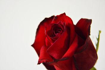 rose - image gratuit #294265