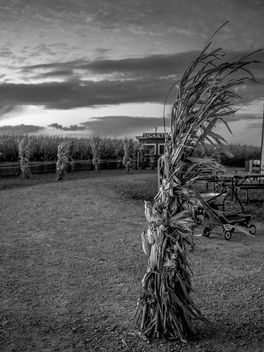 Corn - Kostenloses image #294435