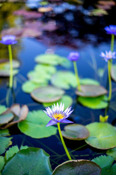 a walk in the water lily pond........part 2 - image gratuit #294455