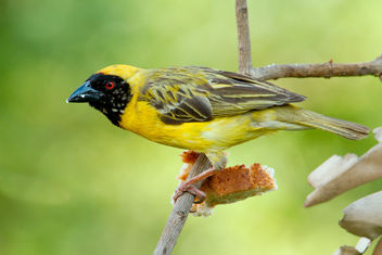 Southern masked weaver - image gratuit #295235