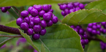 Beauty Berries in Autumn - image #295275 gratis
