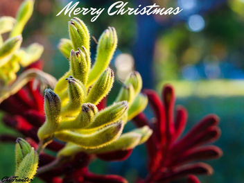 Merry Christmas from Australia (Kangaroo paw flowers) #Christmas - Free image #295485
