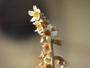 Loquat Flower - Free image #295615