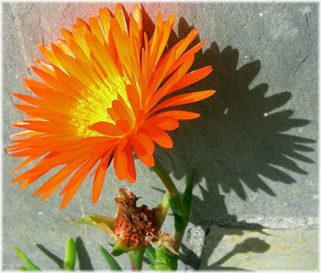 4240-Flor de Crassulas. - Free image #296085