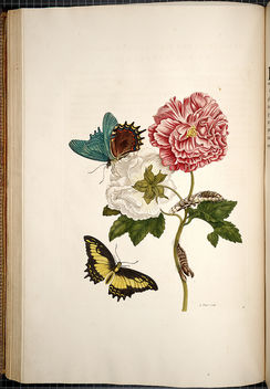 Rose of Sharon and Lepidoptera (1730) - Free image #296295