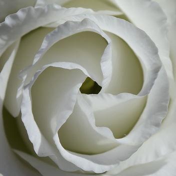 Rose Macro - Free image #296555