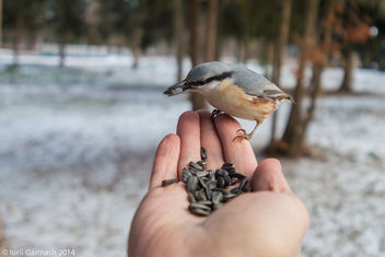 Feeding nuthatches from hand in a local park - image #296575 gratis
