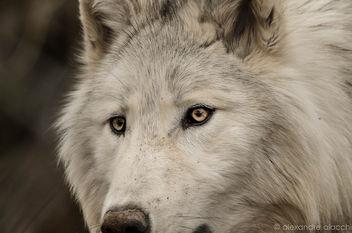 Wolf - Free image #296665