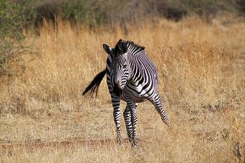 Plains Zebra: Equus quagga - image gratuit #296805
