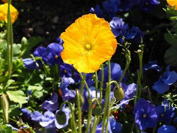 Poppy - image gratuit(e) #297325