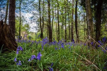 Oakley woods bluebells April 2015 (9 of 22) - Free image #297335