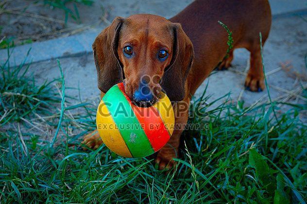 Perro salchicha marrón - image #297575 gratis