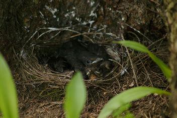 Blackbird's nest - Free image #298225