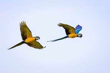 Parrots - image gratuit #298315