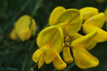 Flor de Xesta - image gratuit #298575