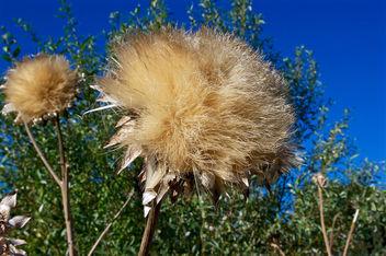 Globe Artichoke seed-head - image #298585 gratis