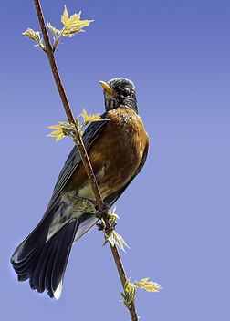 Robin - бесплатный image #298735