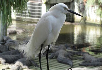 Snowy Egret - Free image #298785