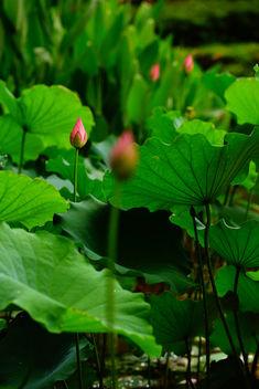Lotus - Kostenloses image #298795