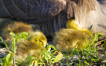 Little Goslings - Free image #298855