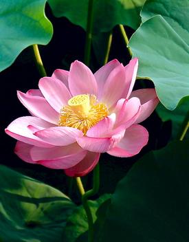 Sacred Lotus - Kostenloses image #298955