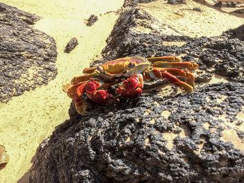Fernando de Noronha Island crab - Krabbe - Free image #299285