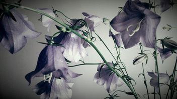 Blue bells - Free image #299785