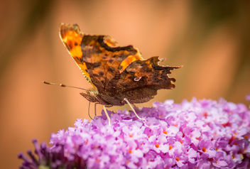 beautiful butterfly - image #300155 gratis