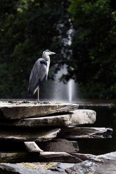 Grey heron - image #300365 gratis