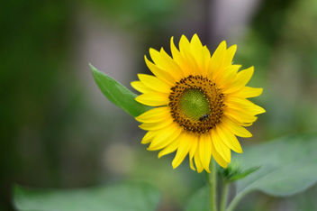 Sunflower - Free image #300375