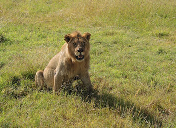 Kenya (Masai Mara) He watches us [Explored, 20/08/2015] - Free image #300455