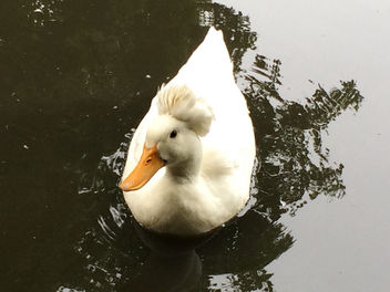 Crested Duck - image #300475 gratis
