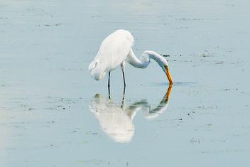 Horicon Marsh Egret - image #300545 gratis