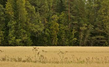 Oat field - Kostenloses image #300855