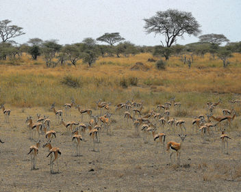 Tanzania (Serengeti National Park) Herd of Thomson's gazellas - image gratuit #301075