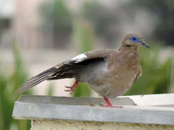 Dove running over the rooftop - image gratuit #301145