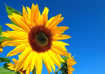 Sunflower - image gratuit #301405