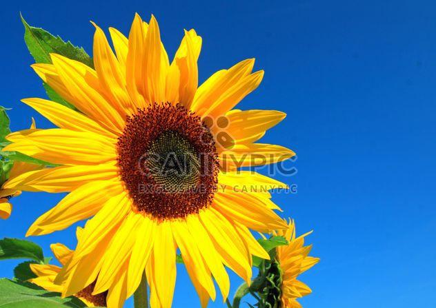 Sonnenblume - Kostenloses image #301405