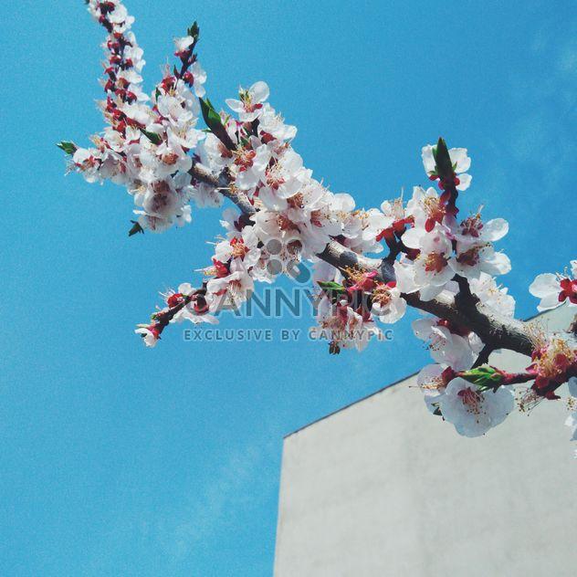 fleur de cerisier - image gratuit #301415