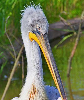 American pelican portrait - Free image #301625