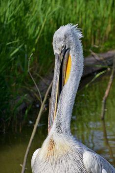 American pelican portrait - image #301635 gratis