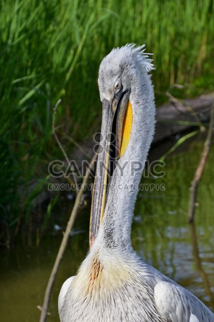 American pelican portrait - Free image #301635