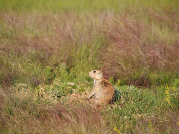 Prairie dog in grass - Free image #303705