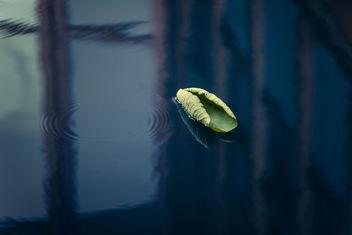 Lotus Leaf - Kostenloses image #303925